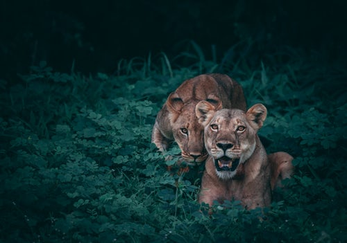 Two lions sitting in a bush