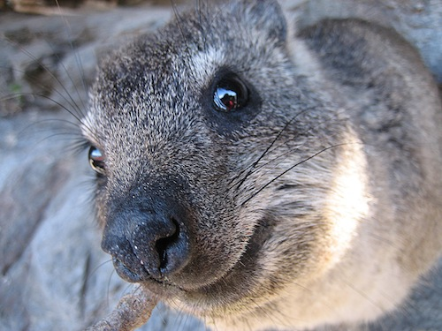 7 Fun Facts That Will Make You Love The Dassie