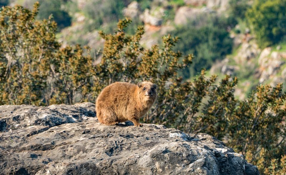 Dassie or rock hyrax